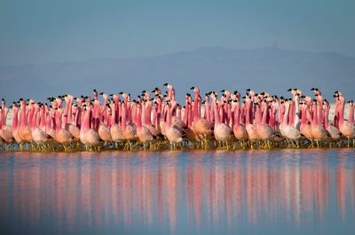 WARNING: Embargoed for publication until 00:00:01 on 06/10/2016 - Programme Name: Planet Earth II - TX: 13/11/2016 - Episode: Mountains (No. 2) - Picture Shows: ***EMBARGOED UNTIL 6th OCT*** A chain of salt lakes, found at over 4000m high in the Andes, provide a safe refuge for flamingo colonies. They gather here to breed, first performing a peculiar parade dance. Whilst the exact rules of the dance remain a mystery to us, it somehow helps them select a mate.   - (C) BBC NHU/© Justin Anderson - Photographer: © Justin Anderson